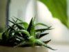 Aloes a czyste powietrze