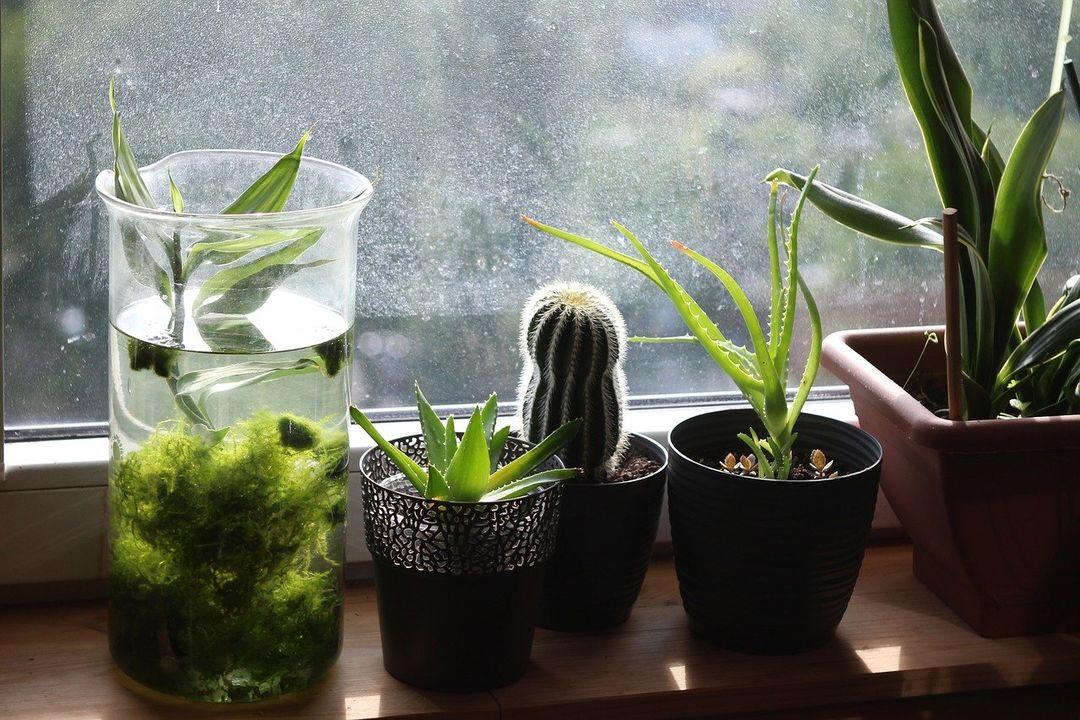 Aloes na czyste powietrze