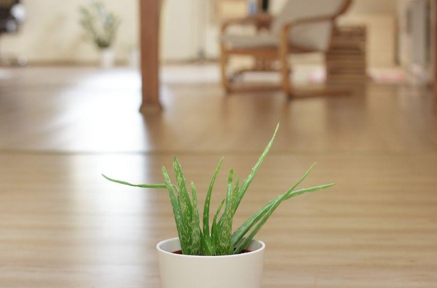 Aloes na zanieczyszczone powietrze